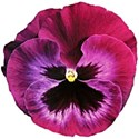 pansy pink 2